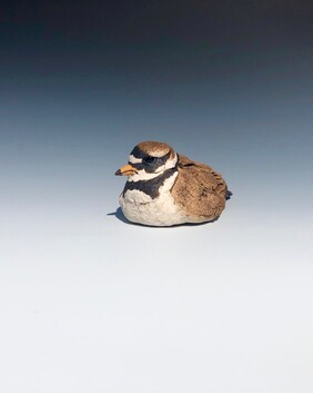 Ringed Plover 1
